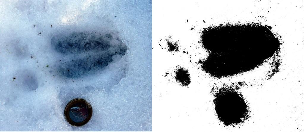 Huella de corzo (Capreolus capreolus) en la nieve y en umbral blanco & negro